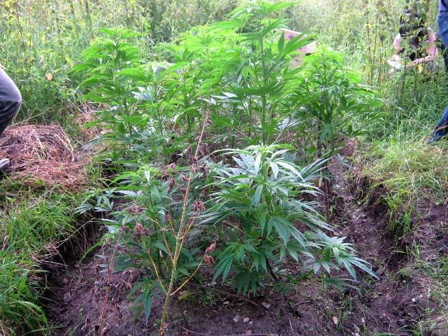 Марихуана в огороде как выращивать фото 95-929
