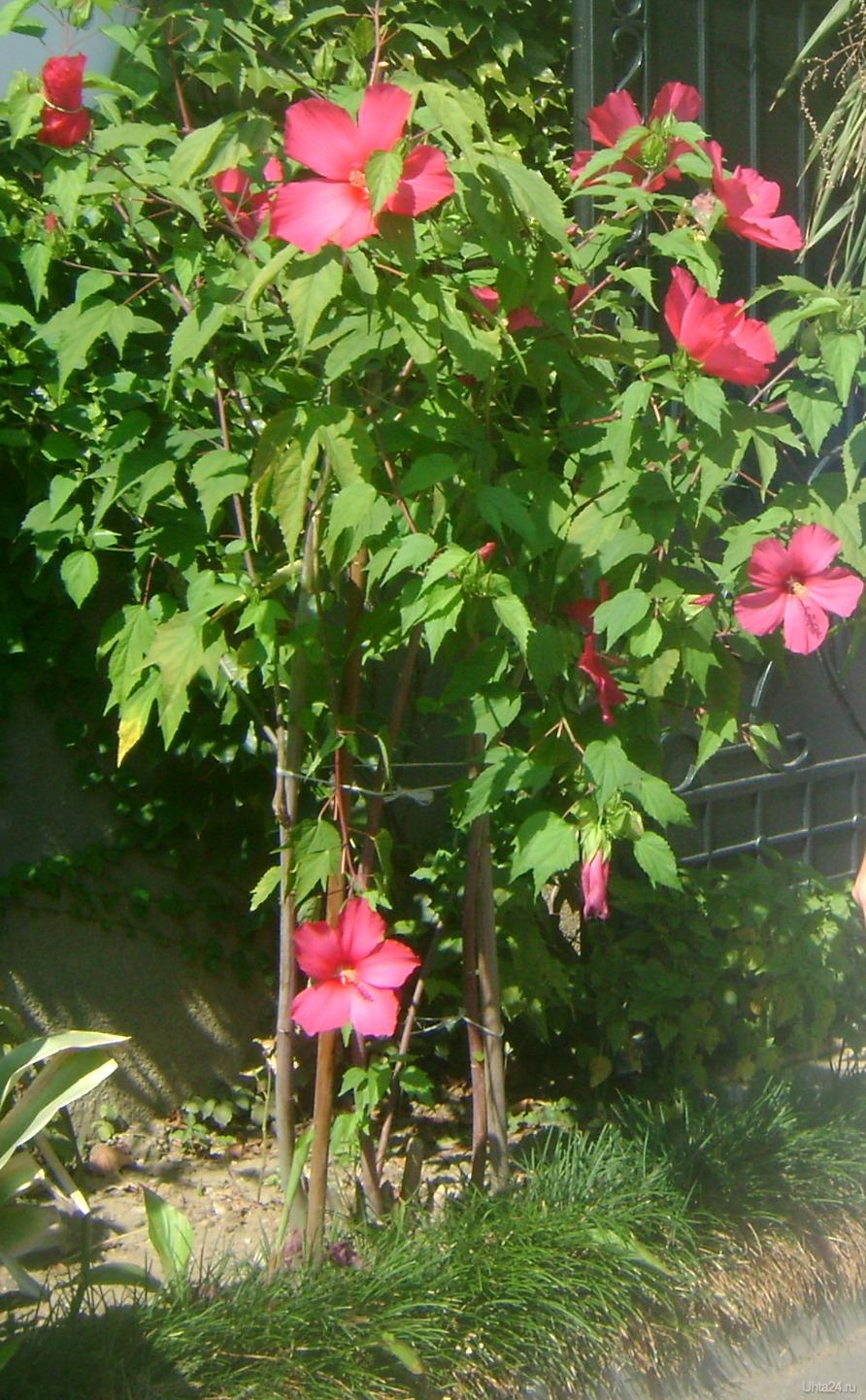 Каркаде растение выращивание 12