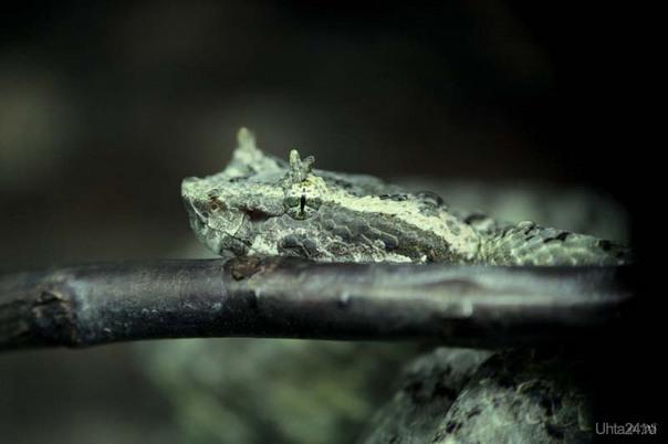 Одна из змей моего друга  Protobothrops cornutus- Вьетнамская рогатая куфия (яд) Питомцы Ухта