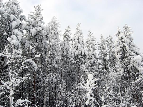 2011г.Зимний лес. Природа Ухты и Коми Ухта