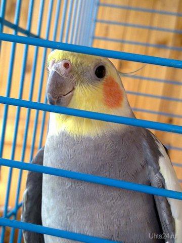 мой попугай Киря Питомцы Ухта