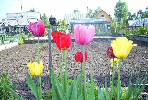 всегда мечтала увидеть целое поле тюльпанов...)  Природа Ухты и Коми Ухта