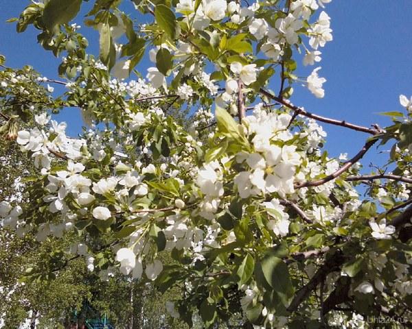 Ещё не отцвела черёмуха, а уже и яблоньки вовсю разгулялись:) Природа Ухты и Коми Ухта
