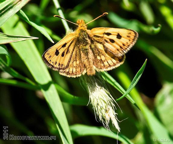 Крепкоголовка лесная [Carterocephalus silvicola] Природа Ухты и Коми Ухта