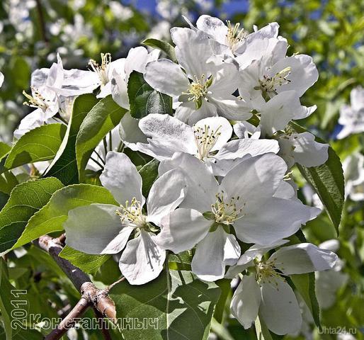 яблоневый цвет Природа Ухты и Коми Ухта
