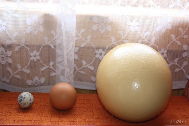 Яйца: перепелиное, куриное и страусиное. Разное Ухта