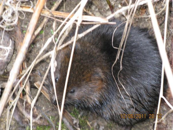 Вот такая зверушка живёт в канаве за забором нашей дачи. Любит яблоки и хлеб. Природа Ухты и Коми Ухта