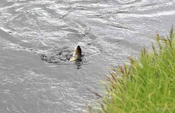 рыба-хариус Природа Ухты и Коми Ухта