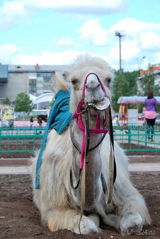Ухтинский верблюд...!!! Питомцы Ухта