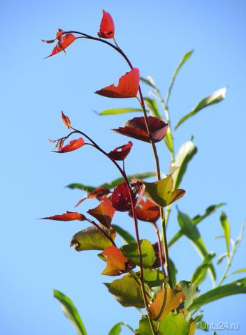 Красные листочки летом. Природа Ухты и Коми Ухта