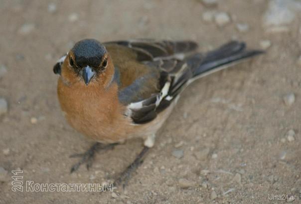 Зяблик — Fringilla coelebs (самец) Природа Ухты и Коми Ухта