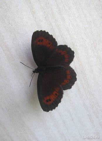 Бабочка крылышками...  Ухта