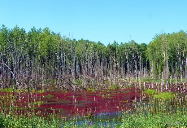 2011г.Цветущее болото. Природа Ухты и Коми Ухта