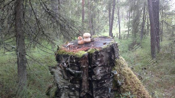 Два грибочка два дружочка Природа Ухты и Коми Ухта