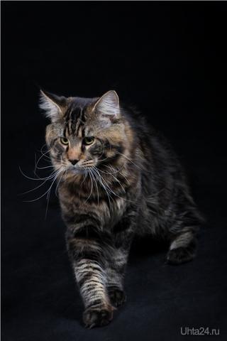 Blackwood Lynxmark порода МэйнКун вес 7 кг возраст - 10 месяцев ищет подружку для вязки.. фотограф: http://vkontakte.ru/club25318805 Питомцы Ухта
