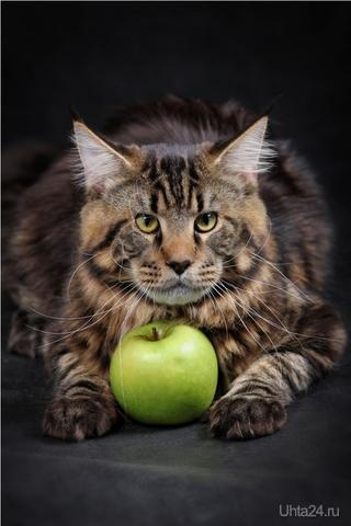 Blackwood Lynxmark, порода МэйнКун, вес 7 кг, возраст - 10 месяцев, ищет подружку для вязки.. , фотограф: http://vkontakte.ru/club25318805 Питомцы Ухта