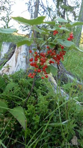 Красная смородина на Сюзь-ю Природа Ухты и Коми Ухта