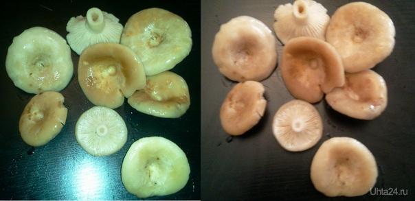 """Народ, кто подскажет, что это за грибы? собраны возле Борового, местный грибник сказал, что это """"солянка боровая"""". Вот только такого названия нет ни в одном справочнике. Природа Ухты и Коми Ухта"""