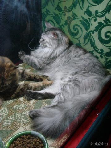 международная выставка кошек в Сыктывкаре (WCF)г.Сыктывкар 10-11 Сентября  Мероприятия Ухта