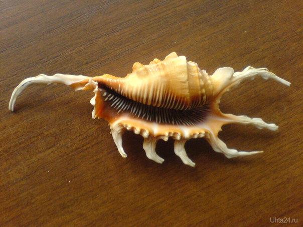 Это Лямбис скорпио покрупнее. Очень необычная ракушка, правда похожа на скорпиона. Творчество, хобби Ухта