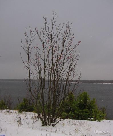 Рябинка на берегу реки Печоры. Падает первый снег  Ухта