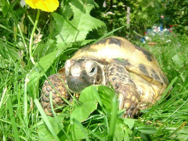 Моя Сухопутная черепаха. Питомцы Ухта