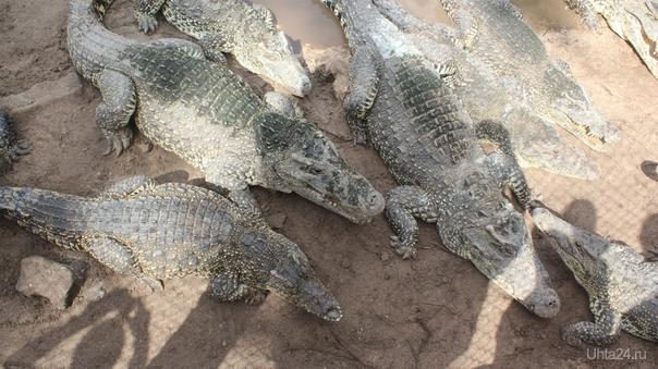 Крокодиловая ферма Питомцы Ухта
