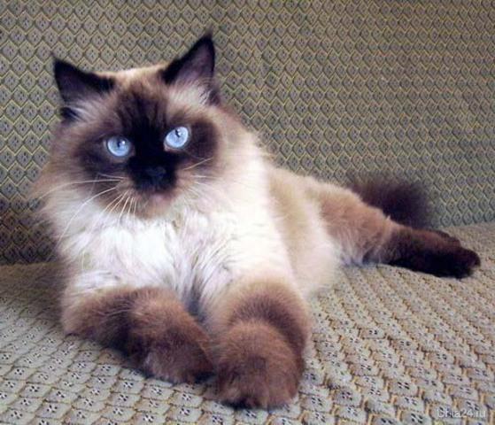 Тема на форуме.  Сиамский кот. шамбала.  13 ноября 2011, 22:46.