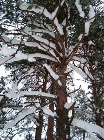 Сосна, одетая в снежное манто.Фото от 19 марта 2009г.  Ухта