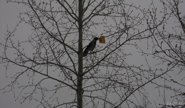 В конце октября увидела такую картину - на дереве сидела ворона и держала в клюве какую-то пачку.Почти как в басне.  Ухта