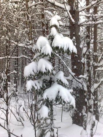 Будто снежная вата на дереве лежит. Зимний лес прекрасен!  Ухта