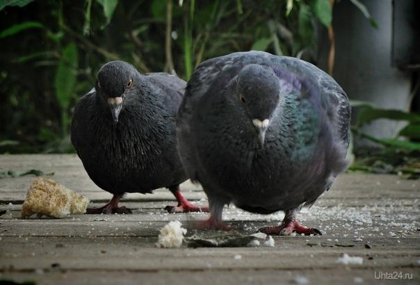 Бычьё. Ухтинские голуби настолько суровы, что даже кушая хлебушек, вопрошают