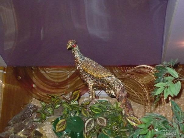 Золотой фазан  Ухта