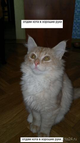 Отдам котенка в хорошие руки. Невероятно ласковый кот. Теперь уже воспитанный. Ходит на лоток, ест все. Видно что вырастет большой и красивый - мощные лапы, хорошая шерсть, уши чистые. Пока нарекли Персиком. Звонить по телефону 89042748764 Питомцы Ухта