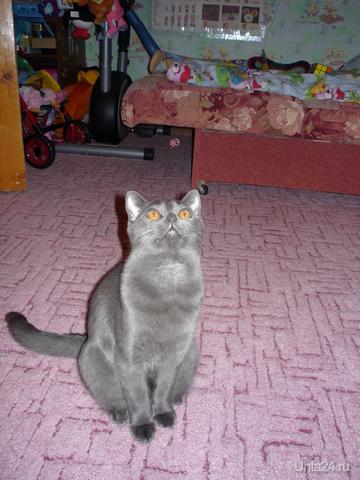 Кошечка желает познакомиться с котом без в/п с ж/п для встреч на его территории с целью получения потомства :) Питомцы Ухта