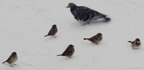 Кормилица, как-то так получилось, что голубь держит кусочек хлеба во рту, а рядом несколько воробьев ждут, когда их покормят. Природа Ухты и Коми Ухта