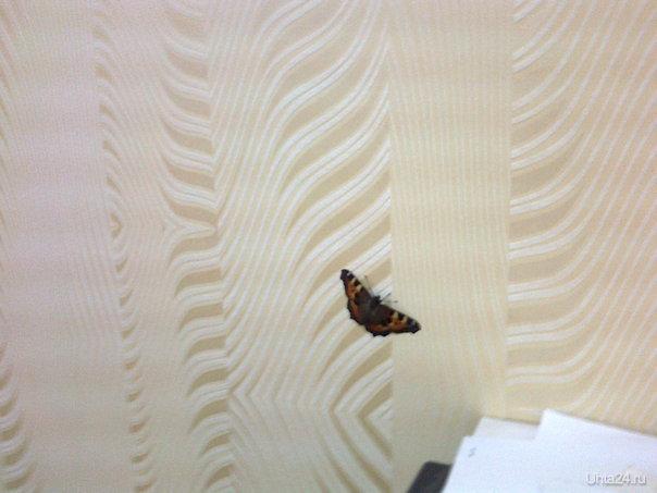 У мея сегодня в кабенете ссамого утра летает бабочка. Природа Ухты и Коми Ухта