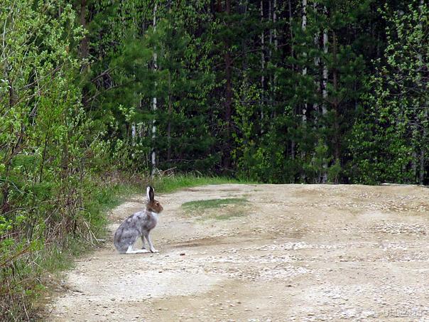 Зайца не видели? (май 2012) Природа Ухты и Коми Ухта