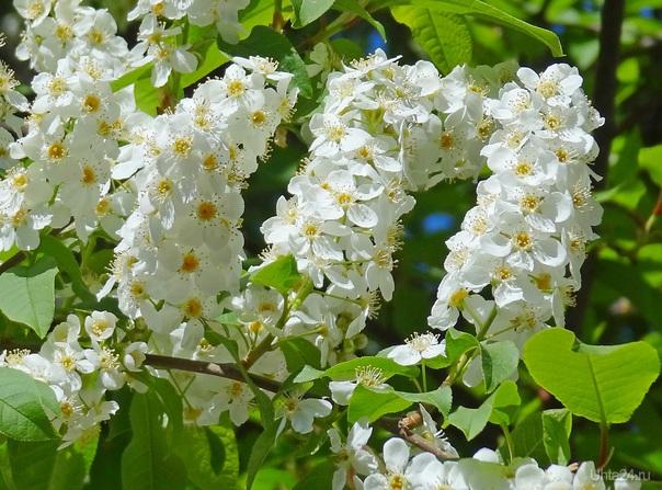 Черёмуха цветёт. Природа Ухты и Коми Ухта