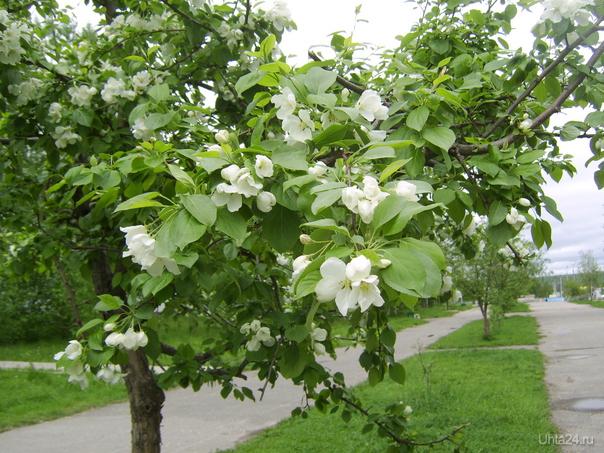 Яблони цветут.Пионергорский проезд. Природа Ухты и Коми Ухта