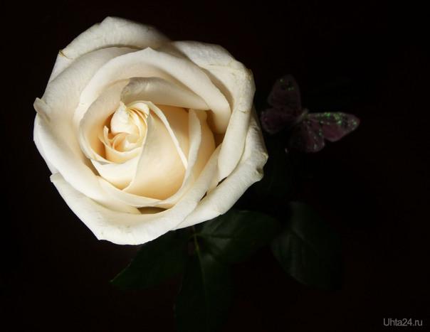 Белая роза. Разное Ухта