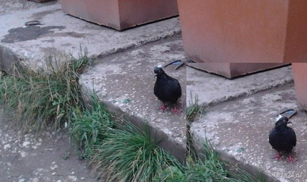 Черный голубь с белым хохолком. Питомцы Ухта