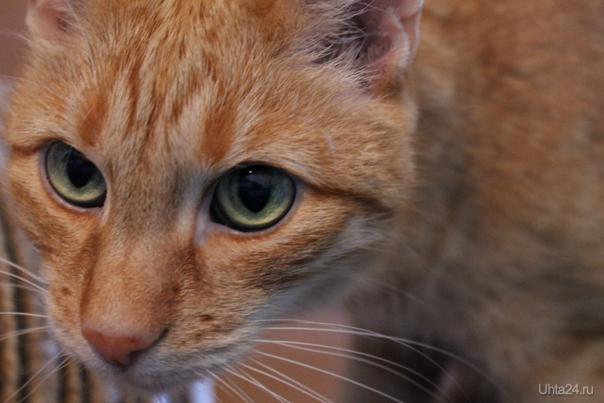 Наш кот Рыжик.Нам - 15 лет.  Ухта