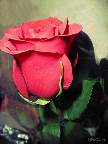 роза. Разное Ухта