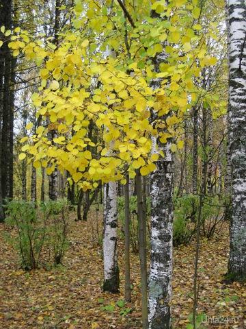 Золотые листья осени. Природа Ухты и Коми Ухта