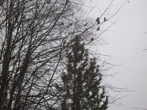 Птички с чубчиками Природа Ухты и Коми Ухта