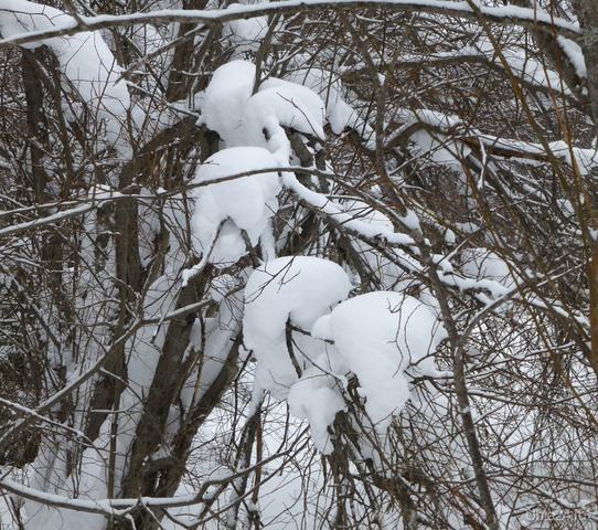 Кому- песец? Зимние шапки  разных размеров на ветке увидела, гуляя по лесу. Природа Ухты и Коми Ухта