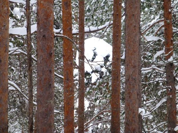 И дорисовывать ничего не надо, в лесу ,из-за деревьев на меня смотрело привидение с большими глазами и бородой. Природа Ухты и Коми Ухта