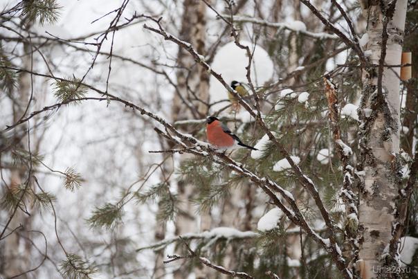 Снегири - синицы Природа Ухты и Коми Ухта