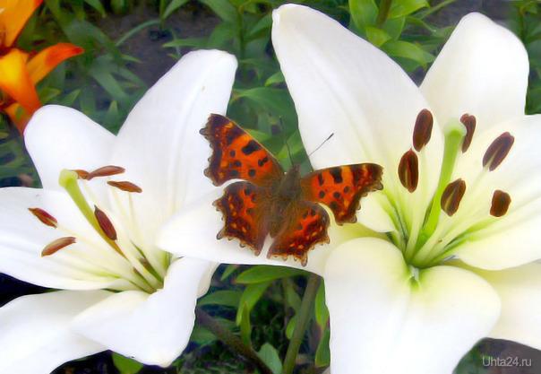 Бабочка. Разное Ухта